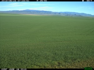 View of wheat field from mounted camera.